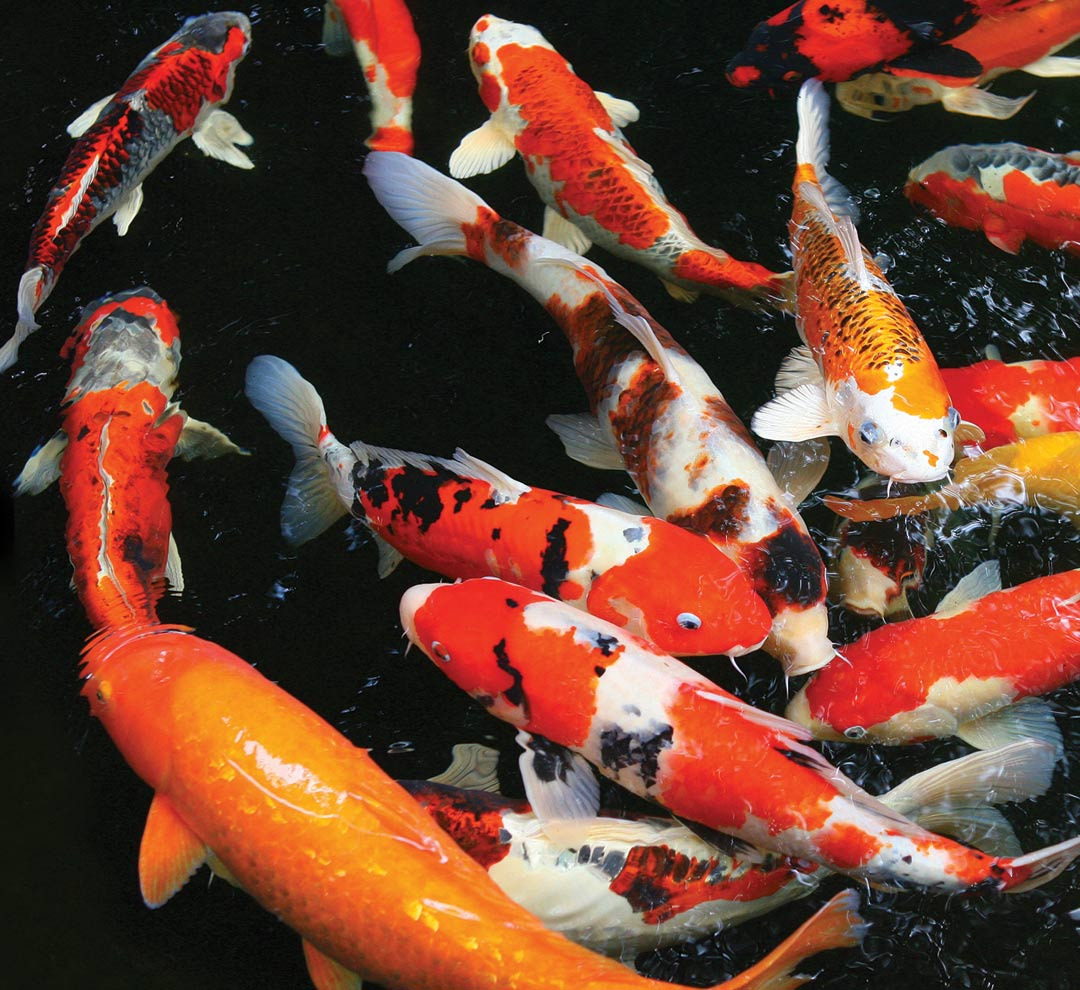 What you need to know before building a pond atlanta for Koi fish pool