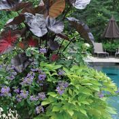 Container garden around pool