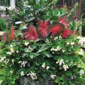 Garden features hibiscus, red Flash Caladium, Baby Wing White Gegonia and Acorus