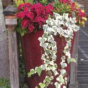 Container garden with thrillers, fillers and spillers