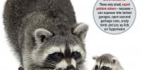 Raccoons - mother and baby