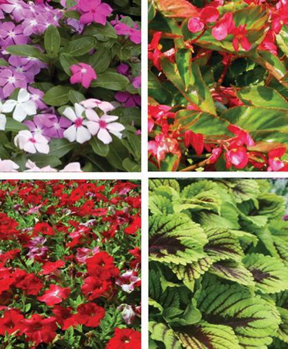 Vinca, Dragon Wing Begonia, Coleus and Petunia