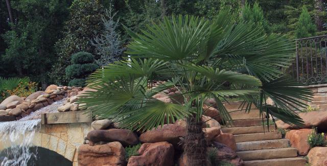 Windmill palm and yucca